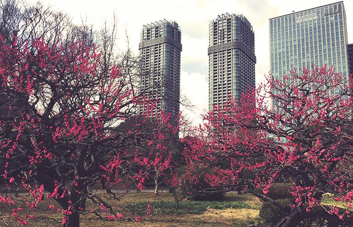 Kirschblüten im Hama-rikyu Garden in Tokyo, Japan im Februar