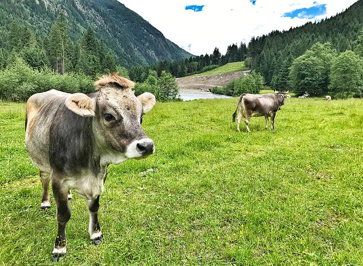 Der Trail zur Mutterbergalm: Kühe grasen