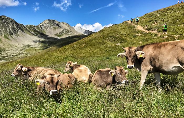 Kühe auf einer Bergwiese in der Schweiz